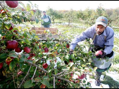 In this 2011 photo,Jamaican farm workers, Ron Granville Bent (left) and Peter Elvy, pick York apples in an orchard west of Winchester, Virginia in the USA.