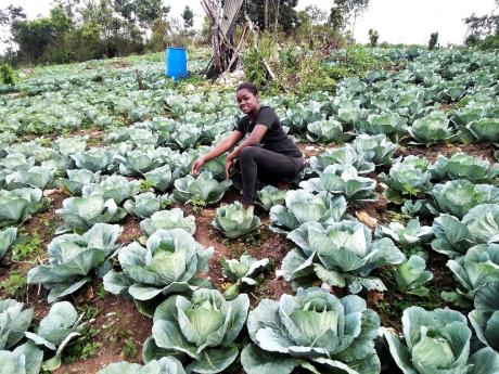 Sherika Braham, a young farmer of Woodland district in St Elizabeth, is seen here attending to her massive cabbage field.