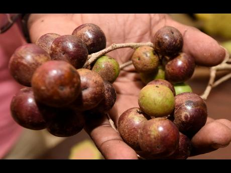 Governors plum, wich is a common fruit on the African continent and parts of Asia.