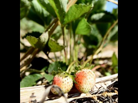 Strawberries are among the fruits grown at the Orange River Research Station in Highgate, St Mary.